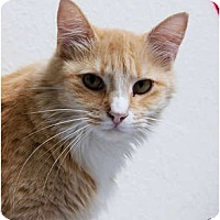 Domestic Longhair Cat for adoption in Dallas, Texas - NUTMEG