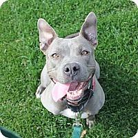 Adopt A Pet :: DEAF +trained breed ambassador - Los Angeles, CA