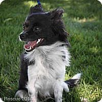 Adopt A Pet :: Oreo - Broomfield, CO