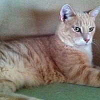 Domestic Shorthair Cat for adoption in Sherman Oaks, California - Jared