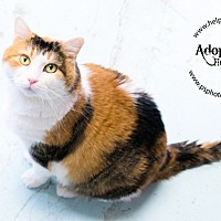 Calico Cat for adoption in Belton, Missouri - Gingerbread