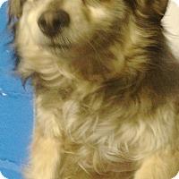 Adopt A Pet :: Chi/Pomeranion Boy - Pompton lakes, NJ