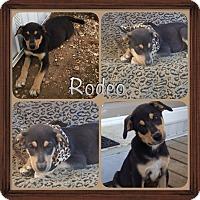 Adopt A Pet :: Rodeo Adoption Pending - East Hartford, CT