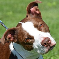 Adopt A Pet :: Janet - Huntley, IL
