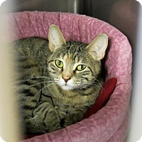 Domestic Shorthair Cat for adoption in Northbrook, Illinois - Avaleen