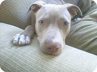 Pit Bull Terrier/Weimaraner Mix Dog for adoption in Malibu, California - GREY