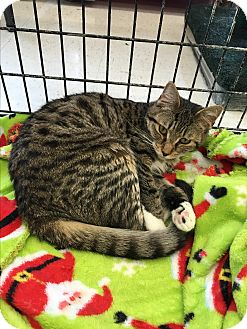Domestic Shorthair Cat for adoption in Berkley, Michigan - Molly