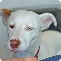 Adopt A Pet :: Layla - Berkeley, CA