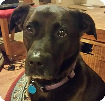 Pit Bull Terrier/Labrador Retriever Mix Dog for adoption in Fulton, Missouri - Charlie - Washington