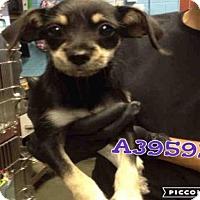 Adopt A Pet :: JAY - San Antonio, TX