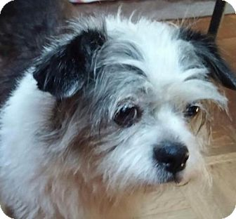 Shih Tzu/Boston Terrier Mix Dog for adoption in West Columbia, South Carolina - Beatrice