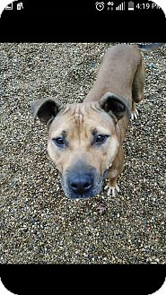 American Staffordshire Terrier Mix Dog for adoption in East McKeesport, Pennsylvania - lil vicky