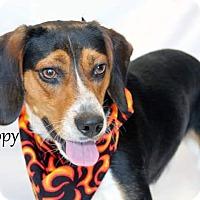 Adopt A Pet :: Snoopy - Beagle - Laingsburg, MI