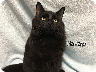 Domestic Mediumhair Cat for adoption in Foothill Ranch, California - Navajo