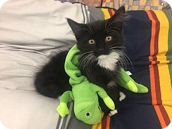 Domestic Longhair Kitten for adoption in Highland Park, New Jersey - Sweet Fluffy