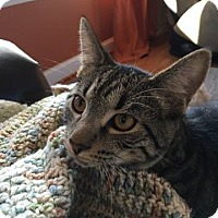 Domestic Shorthair Kitten for adoption in Millersville, Maryland - Ford