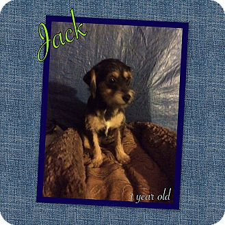Terrier (Unknown Type, Medium)/Schnauzer (Miniature) Mix Dog for adoption in LAKEWOOD, California - Jack