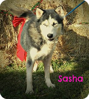 Siberian Husky Dog for adoption in Lawrenceburg, Tennessee - Sasha