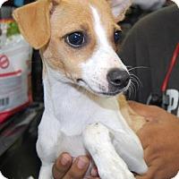 Adopt A Pet :: Bruisen - Brooklyn, NY