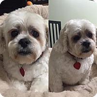 Lhasa Apso Dog for adoption in Poughkeepsie, New York - Gabby & Abby