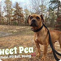 Adopt A Pet :: Sweet Pea - Jackson, NJ