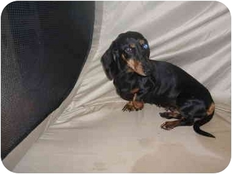 Dachshund Dog for adoption in SCOTTSDALE, Arizona - DELLA BELLA