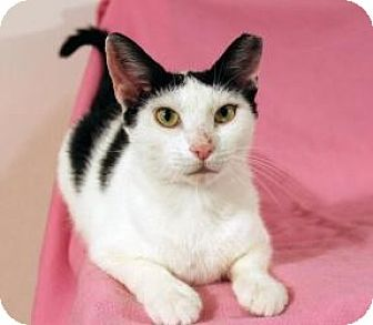 Domestic Shorthair Cat for adoption in Cleveland, Ohio - Archella