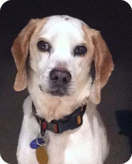 Beagle Dog for adoption in Waldorf, Maryland - Camden Hughes