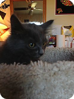 Russian Blue Kitten for adoption in Fountain Hills, Arizona - WIZZY