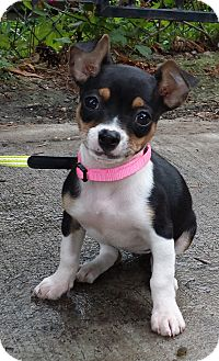 Toy Fox Terrier/Chihuahua Mix Puppy for adoption in Chicago, Illinois - COOKIE