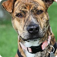 Adopt A Pet :: Lilly - Brownsburg, IN
