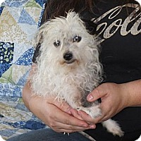 Adopt A Pet :: Dora 3.8pounds - Salem, NH