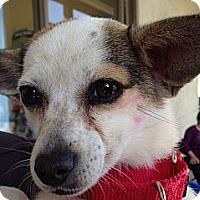 Adopt A Pet :: Stella - Long Beach, CA