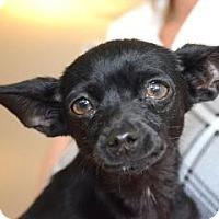 Adopt A Pet :: Chiclet - Canoga Park, CA