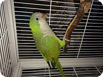 Parakeet - Quaker for adoption in Punta Gorda, Florida - Tuck