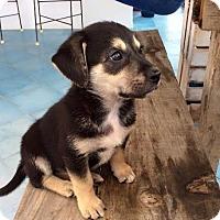 Adopt A Pet :: Suri - North Bend, WA
