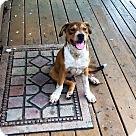 Adopt A Pet :: Boxer Mix Pups