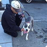 American Pit Bull Terrier Mix Dog for adoption in Las Vegas, Nevada - Nina