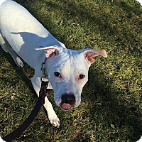 Adopt A Pet :: Chance - Vernon Hills, IL