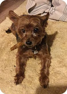 Yorkie, Yorkshire Terrier Dog for adoption in Statewide and National, Texas - Berkeley