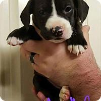 Adopt A Pet :: Daphne - Broken Arrow, OK
