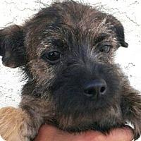 Adopt A Pet :: Toffee-ADOPTION PENDING - Boulder, CO