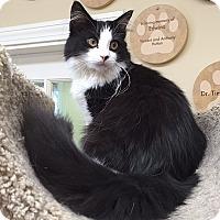Domestic Longhair Cat for adoption in Ashland, Massachusetts - Cash