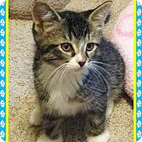 Adopt A Pet :: Bootsie - Mt. Prospect, IL