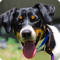 Jack Russell Terrier Mix Dog for adoption in Coeburn, Virginia - Brusco