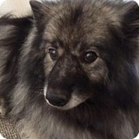 Keeshond Dog for adoption in Southern California, California - LEXIE