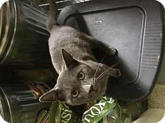 Russian Blue Cat for adoption in Columbia, South Carolina - Boyd