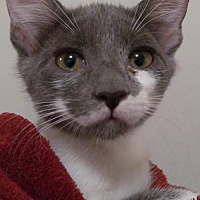 Domestic Shorthair Kitten for adoption in Sarasota, Florida - Gigi