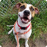 Spaniel (Unknown Type)/Pit Bull Terrier Mix Dog for adoption in River Rouge, Michigan - Ginny