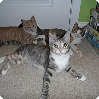 Adopt A Pet :: Tucker Girl Kittens - Fairfax, VA